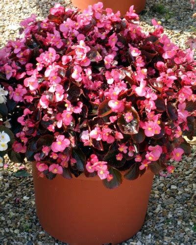 Pasaran Mixing White begonia malaga series wellgrow horti trading
