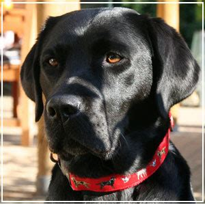 american color labs animals plannet labrador dogs pictures