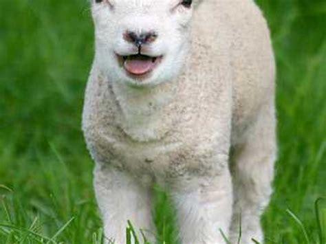 cuisiner une 駱aule d agneau l agneau pascal origine et signification