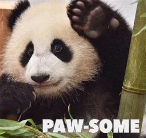 panda meme hi adorable baby panda cub meme smile
