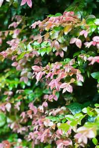 Best Shrubs For Topiary - best lilly pilly varieties burke s backyard