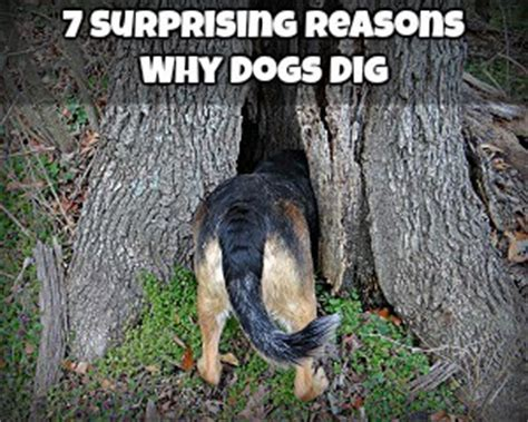 Why Does Dig At The by Behavior Discoveries