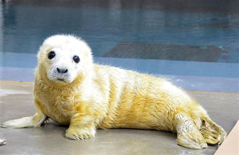 the sea l the zoo s baby seal is and cuddly but don t be