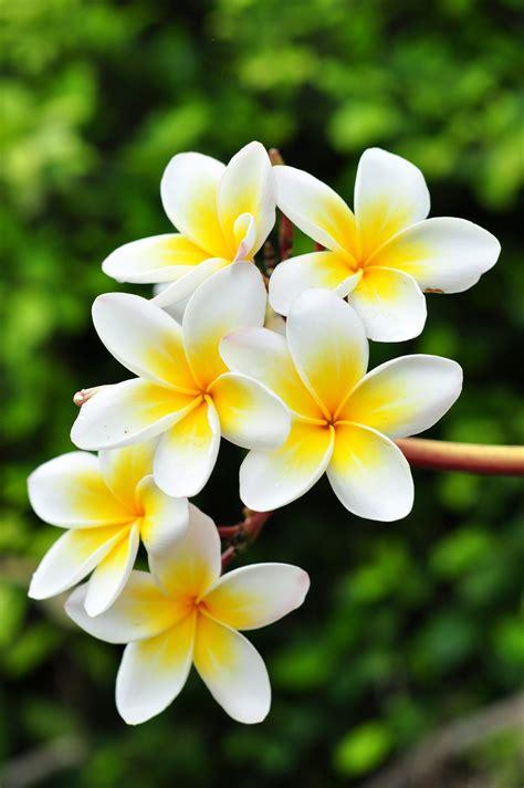 images of flowers frangipani