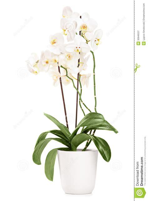 orchid 233 e blanche dans un pot blanc avec beaucoup de fleurs