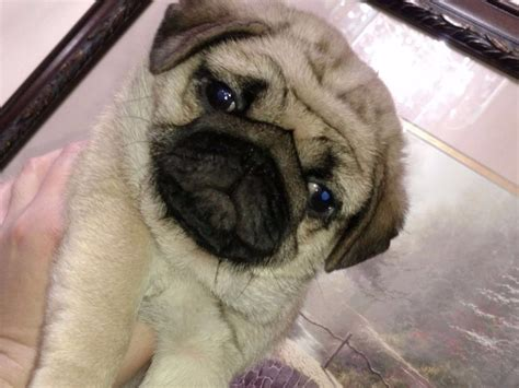pug breeders in nh pug for sale akc marketplace