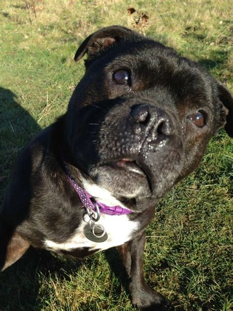 staffy cross pug sally 9 year pug cross staffordshire bull terrier for adoption