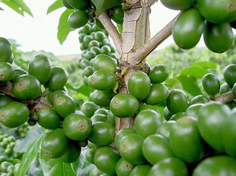 Green Coffe Shafa 60 Kapsul zelena kava s svetolom zrno zelene kave s svetol om