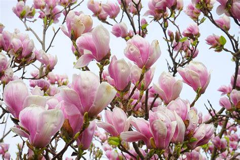 immagini magnolia fiore free photo magnolia magnolia blossom flowers free