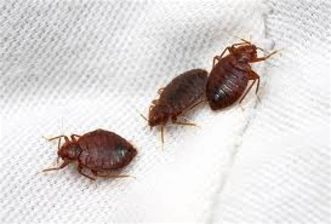 bed bugs pest control bed bugs management service rapid pest control india