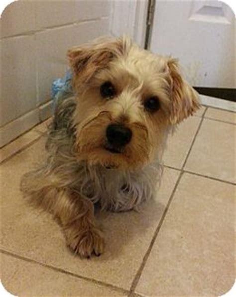 yorkie puppies jacksonville fl jacksonville fl yorkie terrier meet bentley a puppy for adoption