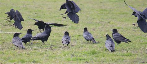 an unkindness of ravens a group of ravens can have three