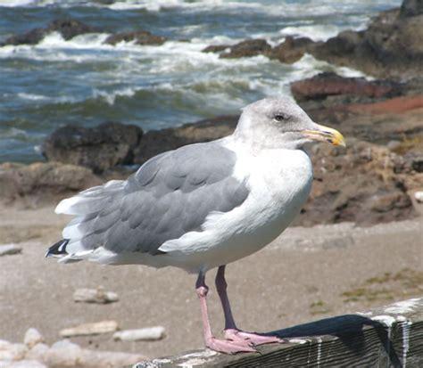 photographs of seabirds gulls terns pelicans