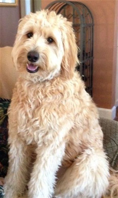 goldendoodle puppy to grown grown mini goldendoodle 1 year mini goldendoodle my