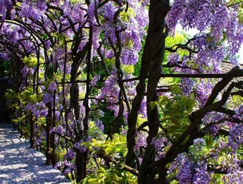 wisteria meaning wisteria meaning tribalmystic stories tribalmystic is