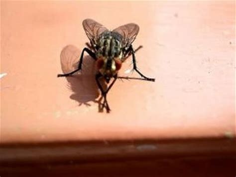 house fly infestation how to get rid of a house fly infestation youtube