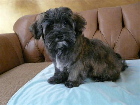 brindle havanese puppies tiger brindle havanese