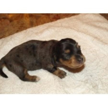 free puppies youngstown ohio blue doxies dachshund breeder in youngstown ohio