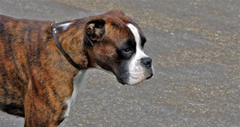 boxer facts interesting facts about boxers