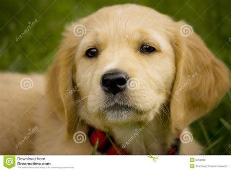 free golden retriever puppy golden retriever barking breeds picture