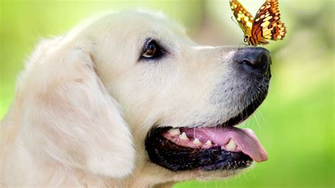 golden retriever muzzle golden retriever butterfly muzzle green hd wallpaper
