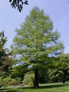 bald cypress tree pictures facts on bald cypress trees