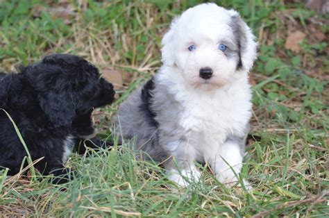 southern indiana poodle rescue sheepadoodle characteristics appearance and pictures
