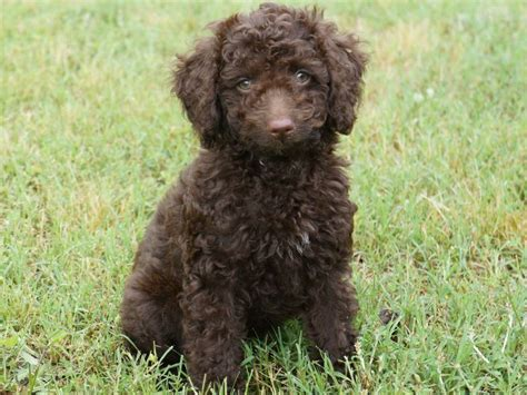 doodle labs labradoodle labrador and poodle mix dogs