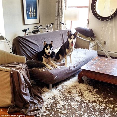 Chewing Furniture by New York Huskies Permanently Furious Expression