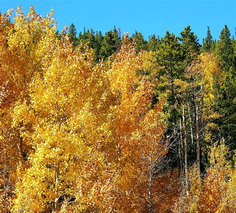 aspen fall colors fall colors on the colorado aspen trees photograph by