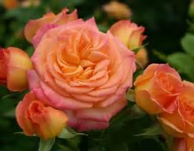 garden delight pink floribunda