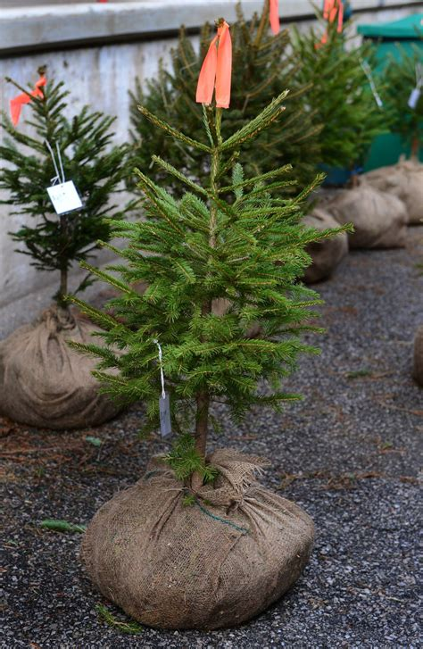 balled christmas tree put roots this year with a sustainable tree wvgazettemail