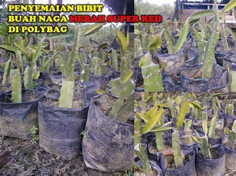Bibit Buah Naga Di Jawa Timur jual bibit buah naga kalimantan jual bibit buah