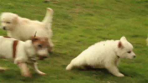 goberian puppies for sale 2017 goberian puppies for sale aaron stoltzfus