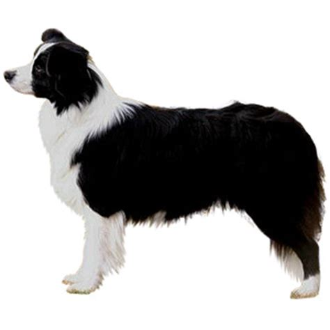 dog haircuts edmonton grooming for border collies collie grooming everything