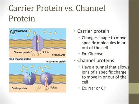 a protein channel is a transport protein that unit 2 cell structure and function ppt