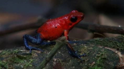 oophaga pumilio dart frog nicaragua youtube