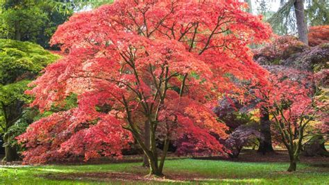 japanese maple shade small trees can provide shade arbor day