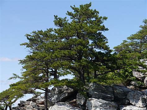 table mountain pine table mountain pine pinus pungens