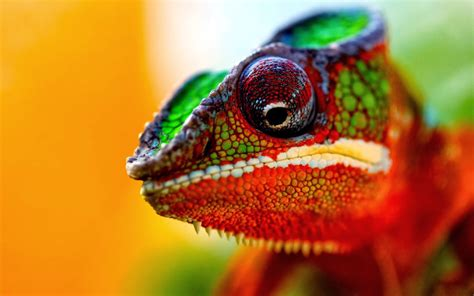 chameleon colors indicate moods animals wiki