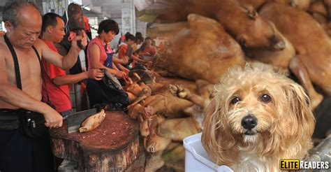 yulin festival thousands of dogs killed and eaten every year in china for the yulin festival