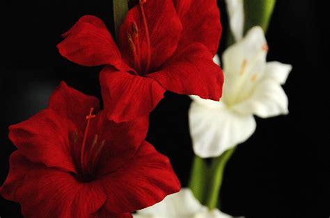 gladiolo fiore evergreens fiori e piante ornamentali artificiali