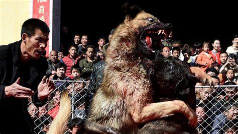 imagenes de animales impactantes peleas perros china 1