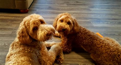 puppy care package puppy care package for your australian labradoodle puppy