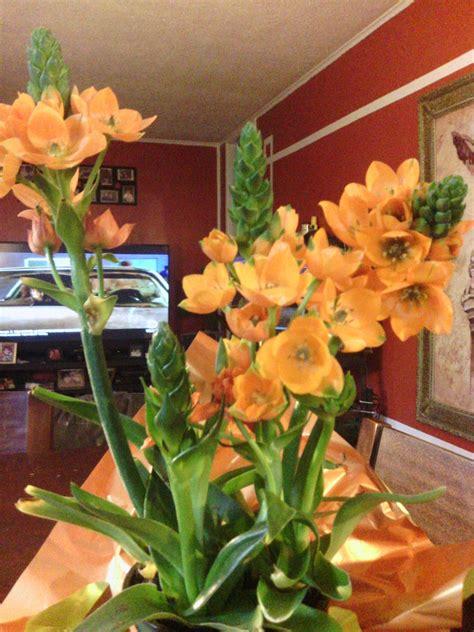 orange star plant plants indoor plants orange