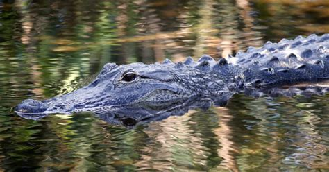 alligators and crocodiles national things to know about florida s alligators cbs news