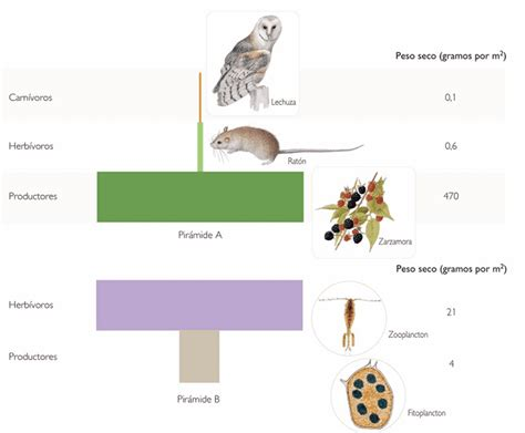 cadena alimenticia pirámide trofica biomerced pir 225 mides tr 243 ficas