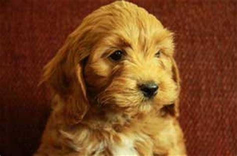 pomeranian cocker spaniel mix for sale cocker spaniel poodle mix puppies dogs for sale puppies for sale in ontario