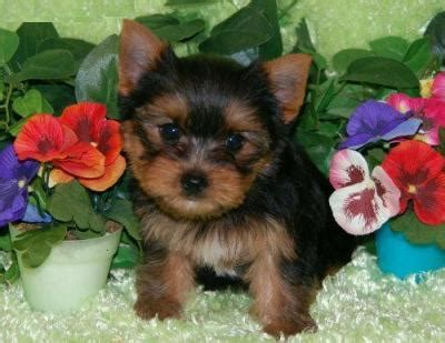 yorkie puppies in washington state teacup yorkie puppies for sale australia dogs in our photo