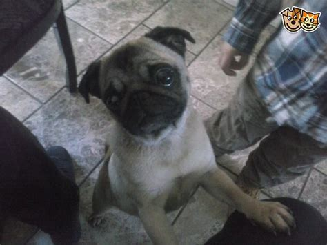 pug rehoming pug for rehoming chatham kent pets4homes